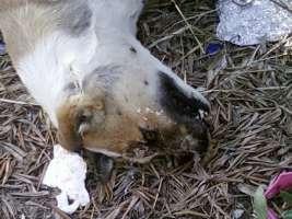 Contro l avvelenamento dei cani a palo del colle