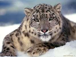 Aiutiamo il Leopardo Delle Nevi