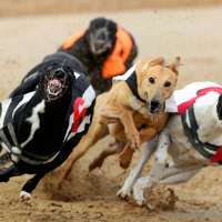 Cani  Greyhound, rendiamo illegali le corse dei cani