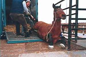 No al trasporto di animali vivi da macello.