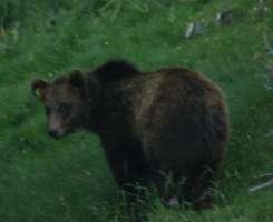 Modificare il piano di gestione dell'orso bruno in Svizzera