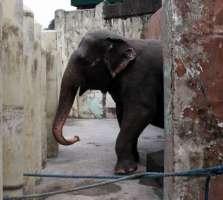 Appello per liberare l'elefante Mali