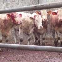 STOP ALLE VIOLENZE CONTRO GLI ANIMALI D'ALLEVAMENTO