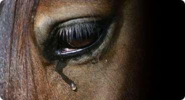 Risultati immagini per cavalli macellazione