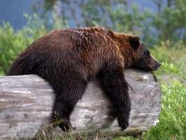 L'Italia protesti con Svizzera per uccisione Orso
