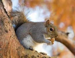 salviamo gli scoiattoli grigi dalla cattura e dall'uccisione