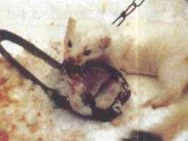 Chiediamo al nuovo papa di dire NO ALLE PELLICCE ANIMALI!