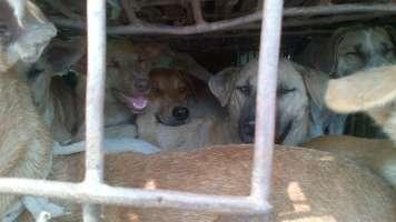 Fermiamo la macellazione clandestina in Thailandia