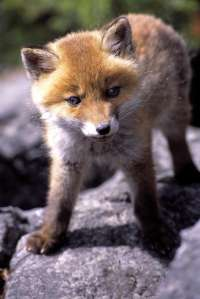 Petizione contro la strage di volpi
