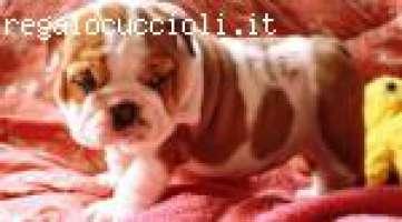 piccoli bulldog inglese cuccioli.