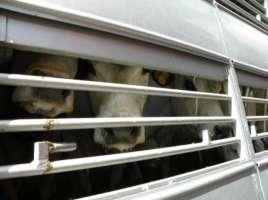 stop al trasposrto di animali in estate nelle ore piu calde