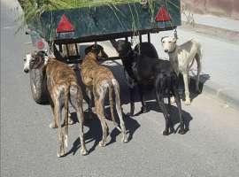 CANI DEL NULLA--Levrieri Galgos...aiutiamoli, a vivere!