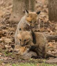 No all'uccisione di 229 volpi in provincia di Piacenza