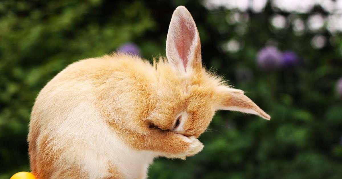 Conigli d'angora scuoiati vivi