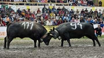 Combattimenti di mucche gravide in Val d' Aosta