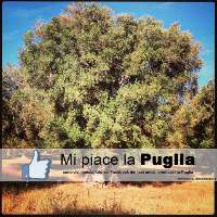 Gli ulivi della Puglia patrimonio UNESCO