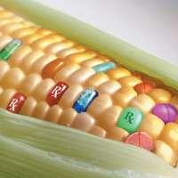 No approvazione Mais OGM 1507