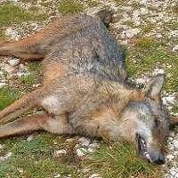 Stop alla strage di orsi e lupi in Abruzzo!