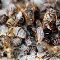 Fermiamo lo sterminio delle api!