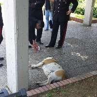 Masaniello, pitbull di 9 anni trucidato. VOGLIAMO GIUSTIZIA !!