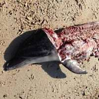 Fermiamo il traffico illegale della carne di delfino!
