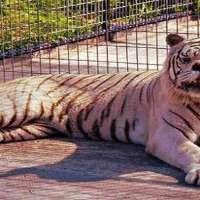 Salviamo Biancaneve - La tigre bianca