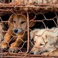 Tutti contro la carne di cane in Cina