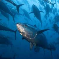 No alla pesca del tonno con le reti
