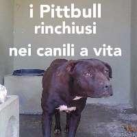 Abolizione vendita cane Pitbull