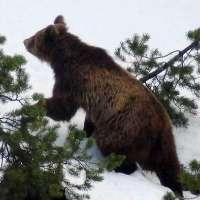 No a Daniza Bis: l'orso del Trentino rimanga libero!