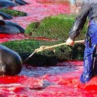 Fermiamo la Mattanza del Grind, salviamo i delfini!