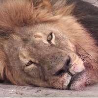 Giustizia per il leone Cecil, Palmer deve pagare!