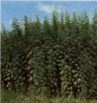 liberalizzare la coltivazione di canapa in Italia