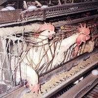 No agli allevamenti intensivi!