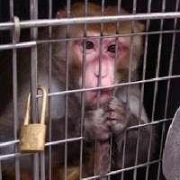 Basta esperimenti sulle scimmie!