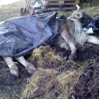 Mucca sfruttata e uccisa in allevamento!