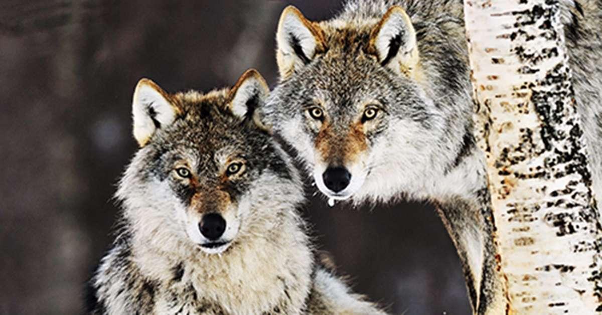 Nessuno tocchi i lupi!