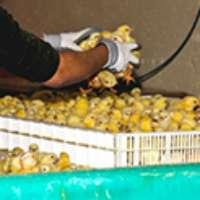 Chiudete gli allevamenti intensivi di polli!