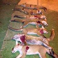 Cessate la mattanza delle volpi!