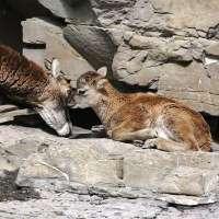 Non far sparire i mufloni dal Parco Del Corno alle Scale