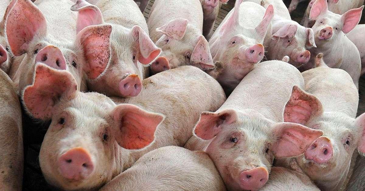 Allevamenti denunciati: maiali malati e molto peggio!