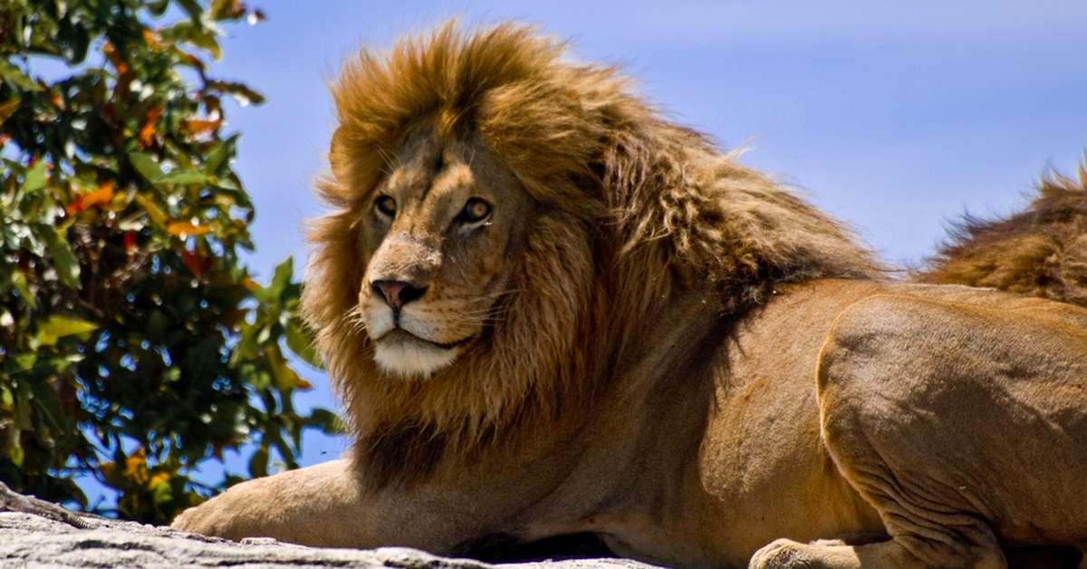 Ucciso il figlio di Cecil il leone!