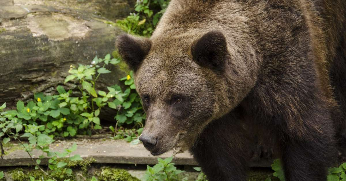 Caccia all'orso in Trentino: non vogliamo una Daniza bis!