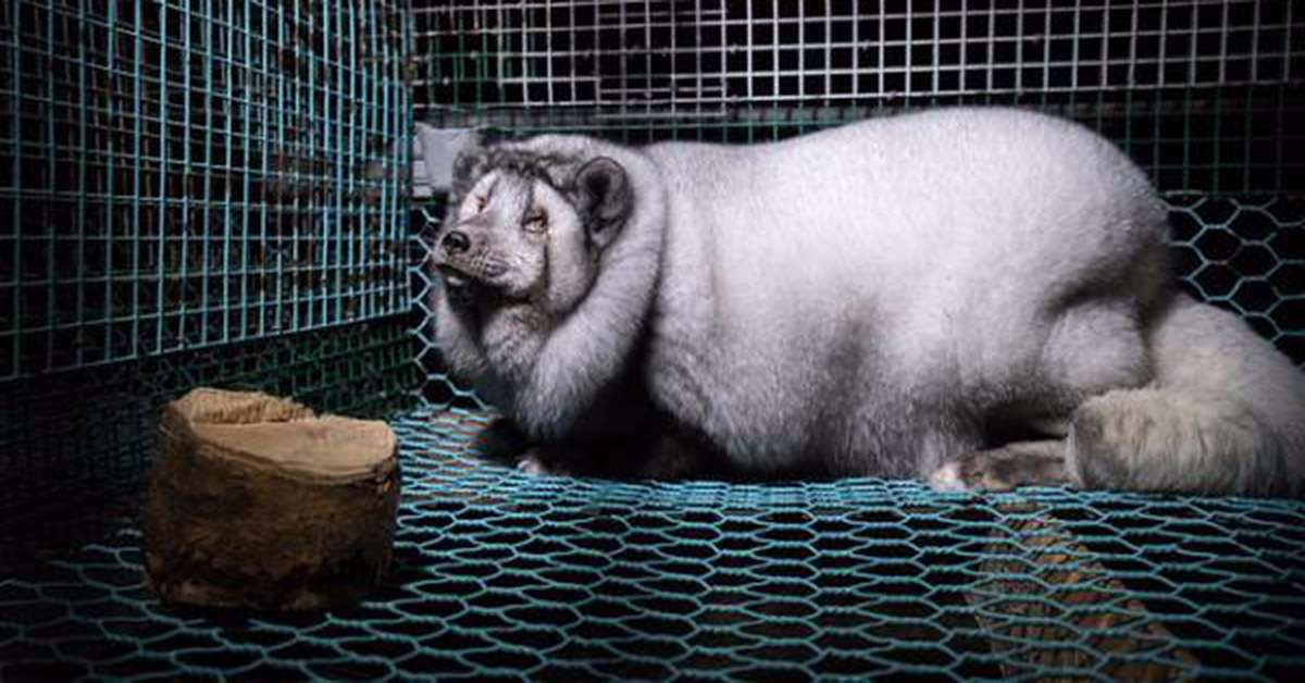 Volpi ogm per la vendita all'industria della pelliccia!