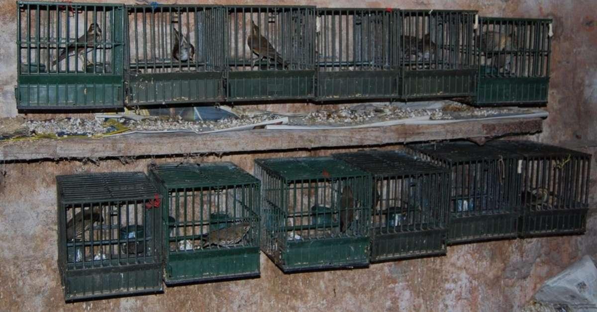Uccellini torturati e usati come richiami per la caccia!