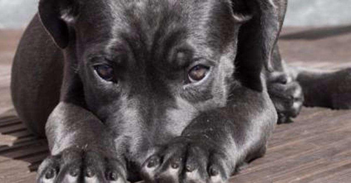 Cane massacrato di botte dai ladri che invadono casa