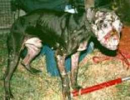 No Combattimenti Cani