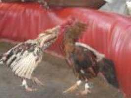 PETIZIONE CONTRO I COMBATTIMENTI TRA ANIMALI