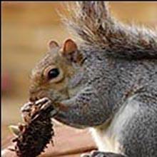SUCCESSO! Salvi gli scoiattoli grigi in Italia